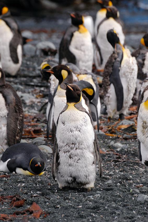 Teenagers molting - Royal penguins, Macquarie Island