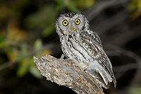 Whiskered Screech-Owl (Megascops trichopsis) at night. Pima County, Arizona. April.