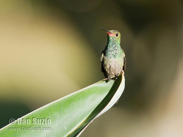 Rufous-tailed hummingbird, Amazilia tzacatl. Hotel Bougainvillea, San Jose, Costa Rica