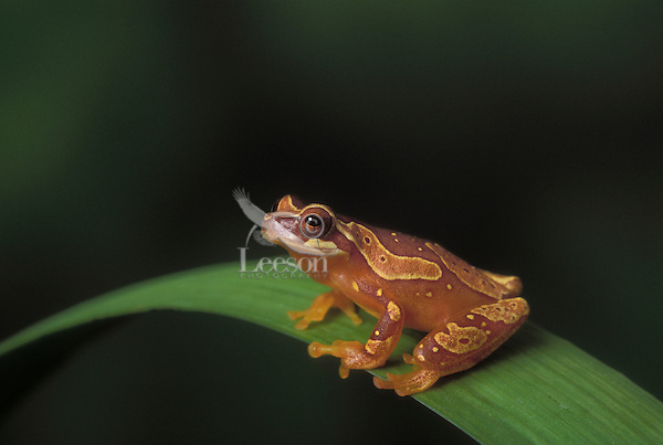 HOURGLASS TREE FROG..Southern Mexico lowlands to NW Ecudor..Captive. (Hyla ebraccata).