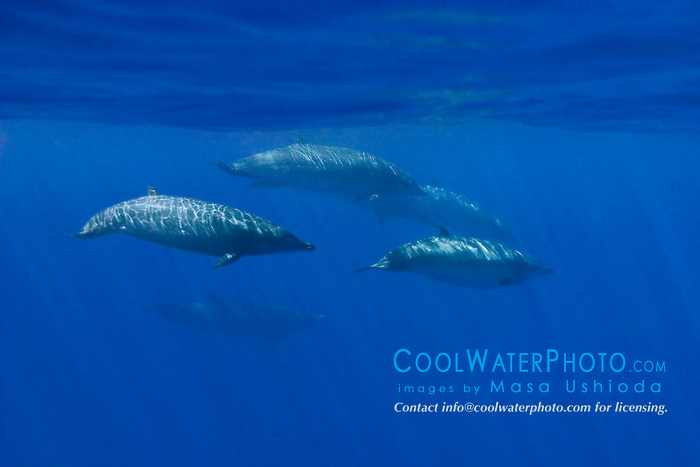 Blainville's Beaked Whales or Dense-beaked Whales, Mesoplodon densirostris, off Kona Coast, Big Island, Hawaii, Pacific Ocean.