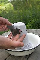 Zwergfledermaus, hilfsbedürftiges Tier wird ausgewildert, dazu auf einen mit einem Strumpf überzogenen Blumentopf ins Freie gesetzt, Zwerg-Fledermaus, Pipistrellus pipistrellus, Common pipistrelle, Pipistrelle commune