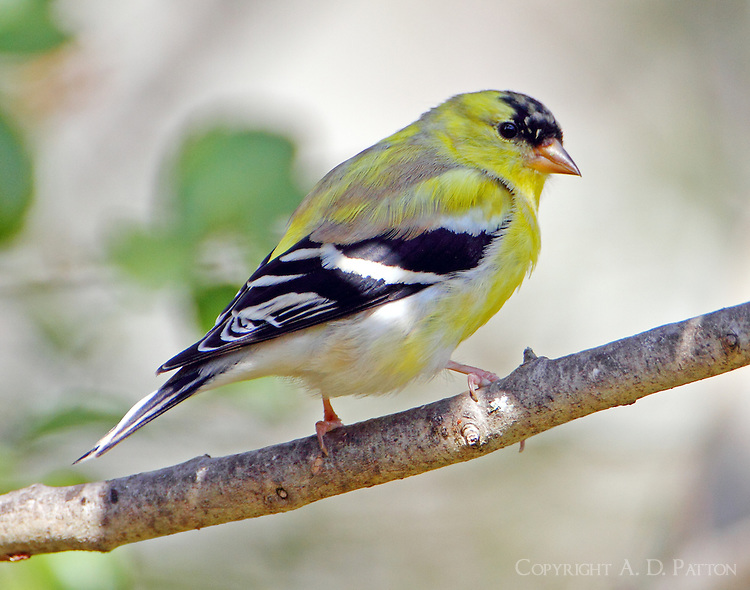 Male American goldfinch molting to breeding plumage in late March