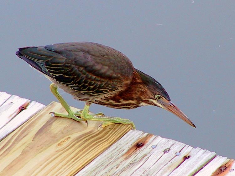 Green heron adult fishing at dock