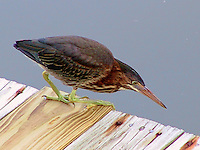 Green heron adult fishing at dock