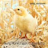 Xavier, EASTER, OSTERN, PASCUA, photos+++++,SPCHCHICKS44,#e#, EVERYDAY ,chicken