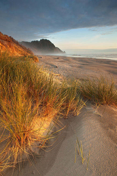 European beach grass lines the sandy beach at Carl Washburne State Park in Oregon, USA