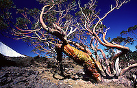 Alpine snow gums are from the Eucalyptus family and are usually found in the subalpine habitats of eastern Australia. Snow Gums also grow in lowland habitats where they can reach heights of up to 20 metres.