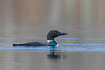 Common loon surrounded by insects on a northern Wisconsin lake,