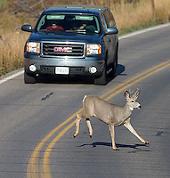 A mule deer crosses the road in Yellowstone National Park.