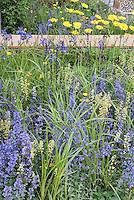 Blue and yellow garden with Nepeta catmint, Salvia, ligularia, blue irises etc in perennial flowers garden