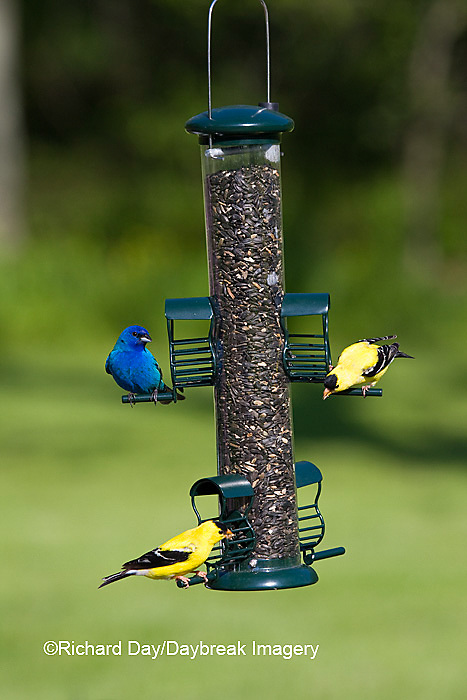 00585-03720 American Goldfinches (Carduelis tristis)  & Indigo Bunting (Passerina cyanea) on sunflower tube feeder, Marion Co., IL