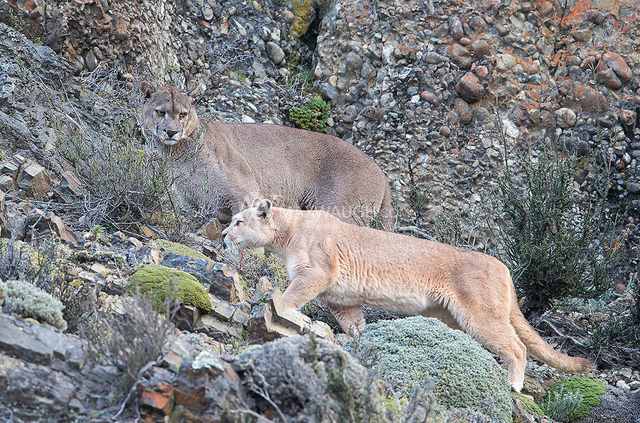 The big dark male puma keeps an eye on the female in heat that he was following for a couple days.  Note the stark difference in fur color between the two.