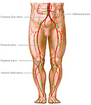 Arteries and Circulation of the Legs. This stock medical illustration pictures a single anterior view of the male torso from the waist down. Clearly illustrated and labeled within this view are the main arteries and branches from the abdominal aorta down through the pelvis, legs and into the feet. Labels include the abdominal aorta, common iliac, femoral, popliteal and anterior tibial arteries.