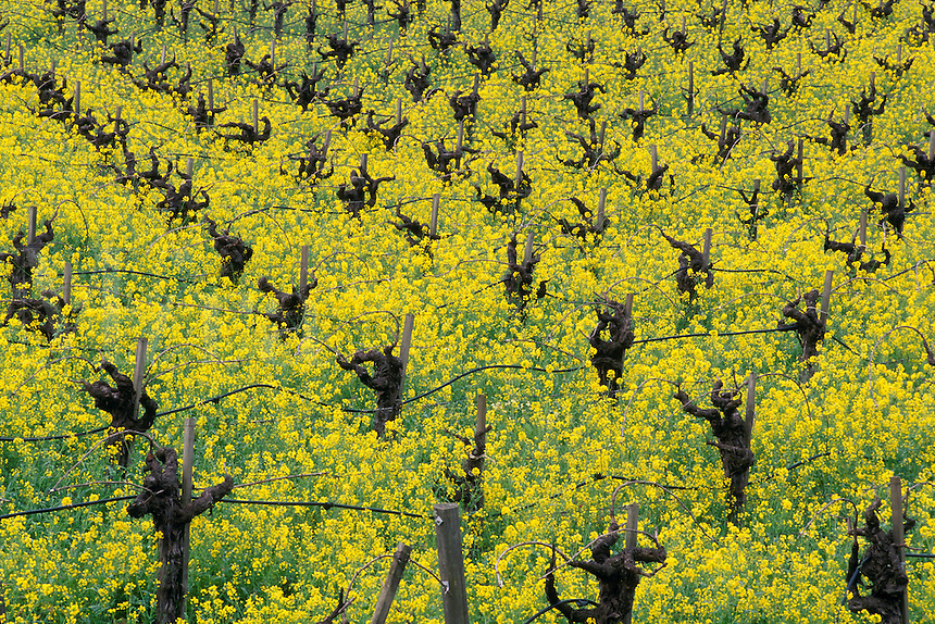 Barren grape vine stumps in field of yellow mustard plant flowers bloom in spring vineyard, Napa Valley Wine Country, California