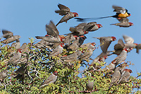 Red-headed Finches fying up from thorn bush