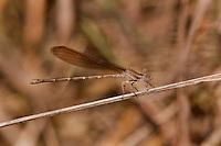 338470007 a wild female  golden-winged dancer argia rhoadsi perches by a small stream near san benito lower rio grande valley texas united states