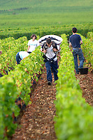 pinot noir harvesting with hod vineyard beaune cote de beaune burgundy france