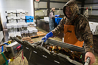 Matt Launsby (right), 20, weighs crates of sorted live lobsters at Island Seafood's receiving facility before sending them to the packing facility in Eliot, Maine, USA, on Wed., Jan. 31, 2018. Lobsters are sorted into similar sizes and then moved to a packing facility to be shipped to customers around the world.
