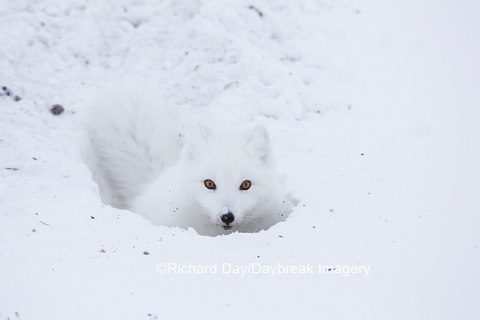 01863-01707 Arctic Fox (Alopex lagopus) at food cache, Cape Churchill, Wapusk National Park, Churchill, MB Canada