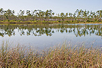 Pine flatwoods: the slash pines grow on submerged limestone that once was an ancient coral reef.