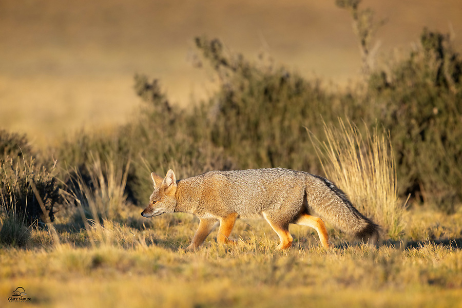 Chilla (Lycalopex griseus), also known as the South American Grey Fox, Patagonian fox, and the gray zorro, ducks under some cover as it approaches its den. We spotted a couple of these little guys feeding on a Hairy Armadillo on our last morning in the Torres del Paine area.