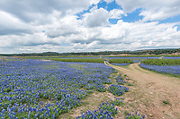 Bluebonnet growing along the roads in Muleshoe park that runs along the Colorado river in the Texas Hill Country were beautiful.  This area is now covered in fifty feet of water so I doubt we will see these again anytime soon.