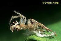 JS03-051z  Jumping Spider - molted skin - Phidippus clarus