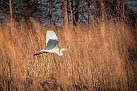 Great egret (Casmerodius albus) in flight