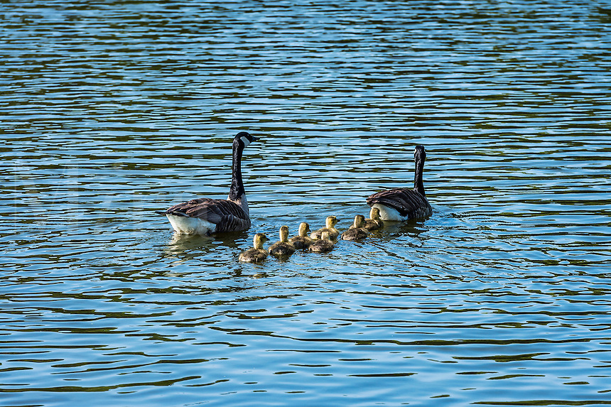 Canadian geese with young goslings.