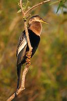 Anhinga - Anhinga anhinga - Adult female