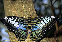 LE45-009a  Butterfly - Malaysian Blue Clipper from SE Asia - Parthenos sylvia