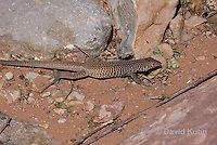 0616-1002  Great Basin Whiptail (Tiger Whiptail), Aspidoscelis tigris tigris © David Kuhn/Dwight Kuhn Photography