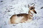 Pronghorn (Antilocapra americana) - sitting in snow, captive  .animal - mammals.winter.USA....