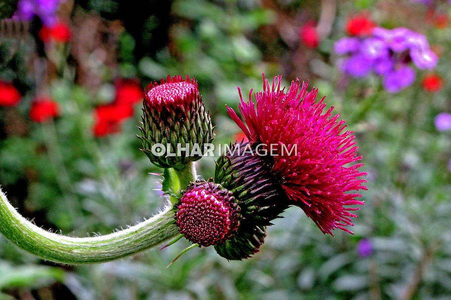 Flores. Gronfena, perpétua ( Gomphrena globosa). UK. Foto de Manuel Lourenço.