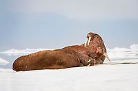 group of Pacific walruses, Odobenus rosmarus divergens, resting on the ice, Wrangel Island, Far Eastern Federal District, Russia, Arctic Ocean