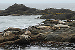 Harbor seals at Pebble Beach