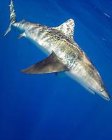 Pigeye Shark