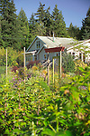 Standing inside an organic kitchen garden (a modern day Victory Garden) of mixed vegetables and colorful flowering herbs on Vashon Island in Washington State's Puget Sound, and looking back out through the 8' wire mesh deer fence surrounding it at the bungalow-style farmhouse just beyond. Garden design by Stenn Design