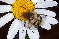 Gebänderter Pinselkäfer, Blütenbesuch, Trichius fasciatus, bee chafer, La Trichie fasciée