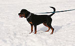 California, Lake Tahoe: Young Rottweiler dog 15 month old in the snow at  North Lake Tahoe Regional Park.  Photo copyright Lee Foster.  Photo # cataho107603
