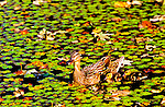 Female Malard Duck and two ducklings. In Santa Barbara California
