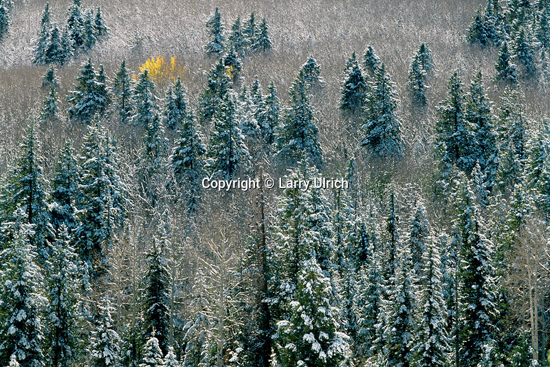 Aspens and blue spruce<br />