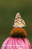 03406-004.20  Painted Lady butterfly (Vanessa cardui) on Purple Coneflower (Echinacea purpurea) Marion Co. IL