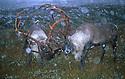 Wild reindeer, Norway