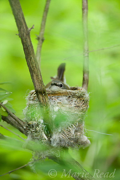 American Redstart (Setophaga ruticilla), female sitting on nest, New York, USA
