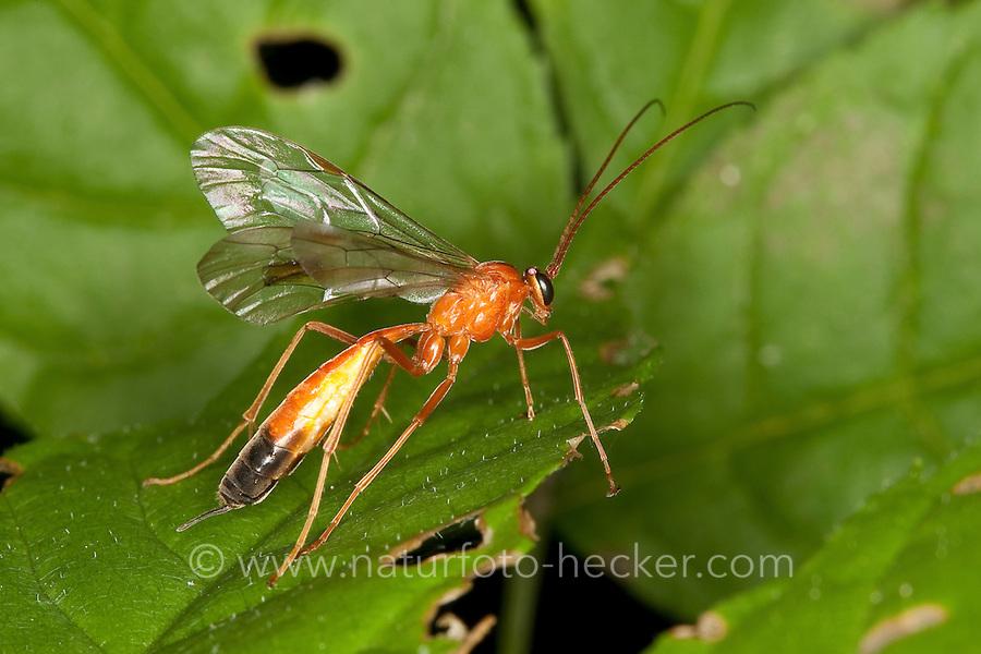Schlupfwespe, Netelia spec., Orange Caterpillar Parasitic Wasp