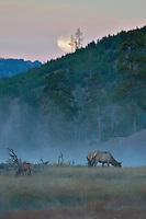 Elk full moon Yellowstone sunrise