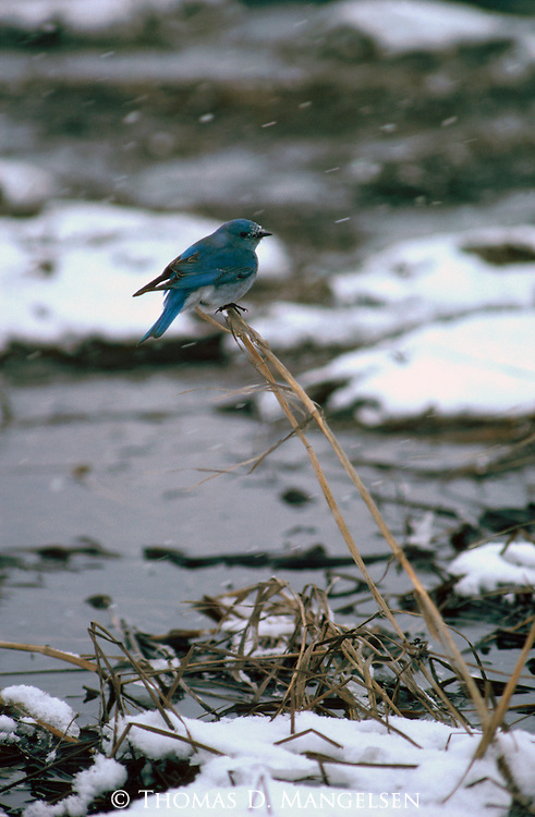 Snow falling on mountain bluebird perched on a dead stalk.