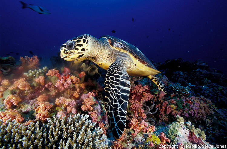 Hawksbill Turtle Eretmochelys imbricata, facial view of turtle, lying on coral reef, feeding, Rep. of Maldives, Indian Ocean